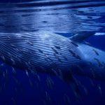 Полосатик Брайда — хищный тропический кит