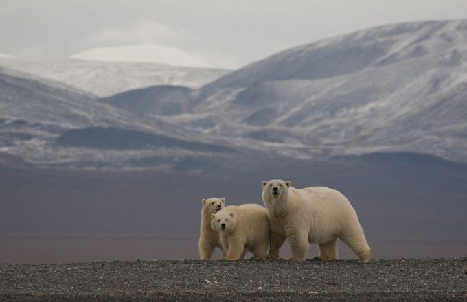 остров Врангеля медведи фото