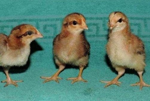 Порода кур вельзумер: описание, содержание, преимущества и недостатки, отзывы