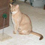 Тикированный окрас кошек: виды, описание, фото