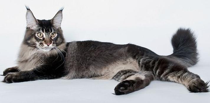 Тикированный окрас кошек виды фото