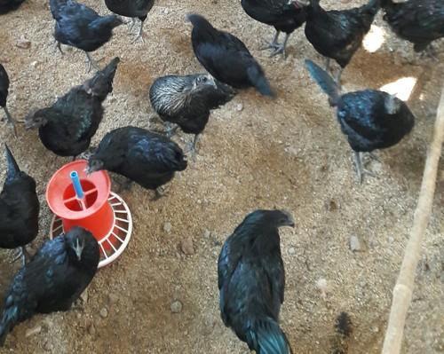 Куры с черным мясом порода фото