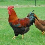 Порода кур вельзумер: описание, фото