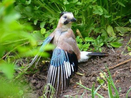 Сойка-пересмешница – любопытная и шумная птица